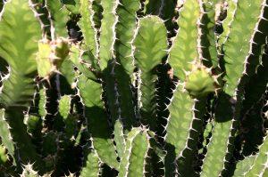 Cách chữa gai cột sống bằng cây thuốc nam xương rồng