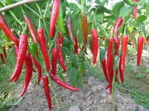 Quả ớt cũng là một vị thuốc nam chữa gai cột sống hay