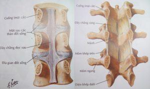 Cấu trúc cột sống thắt lưng